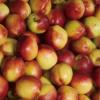 砀山特产农村直供油桃 新鲜水果