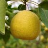 砀山特产 农村直供酥梨 新鲜水果 优质酥梨