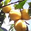 砀山特产 农村直供黄桃 新鲜水果 优质黄桃 批发
