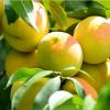 砀山特产 农村直供黄桃 新鲜水果 优质大黄桃 批发