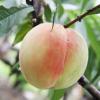 砀山特产 农村直供毛桃 新鲜水果 优质毛桃