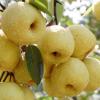 安徽正宗 砀山酥梨 现采摘酥梨 新鲜水果特产 批发零售