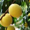 供应热销阳光黄金蜜桃 品种齐全 价格实惠