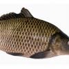 优质淡水鱼鲤鱼供应