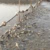 批发供应 巢湖生态鲜活多肉鲫鱼 高质量新鲜鲫鱼