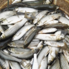 鲫鱼 鲜鲜鲜水产批发各种规格 鲜活鱼类