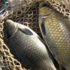 农家原生态无污染淡水鱼 天然养殖鲜美肉嫩鲫鱼 食用活鱼
