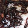 芜湖养殖场供应小龙虾 批发淡水小龙虾鲜活小龙虾