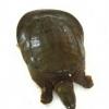 特产鲜活甲鱼 黄河口生态甲鱼鳖 营养滋补产品2-3斤/只