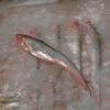 特种养殖水产批发】鲥鱼