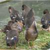 大量批发土麻鸭