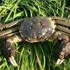 蟹农推荐精品淡水螃蟹 鲜活绒毛蟹河蟹