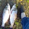 [批发销售]优质淡水鱼苗——鲢鱼