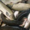 房县白浴 野生养殖新鲜水产 草鱼