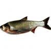 优质鲢鱼 口感好 肉质新鲜