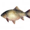 芜湖水产优质鲫鱼