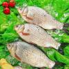 优质鲜活水产——鲫鱼