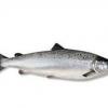 优质水产——鲑鱼