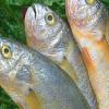 大黄花鱼 海鱼 新鲜野生 鲜活黄花鱼 深海海鲜鱼 大头黄 3斤包邮