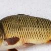 文贵家庭农场 野生鲤鱼 新生态淡水鱼
