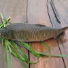 供应草鱼淡水养殖草鱼绿色无污染有机的淡水鱼优质鲜活野生草鱼批发