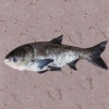 热销淡水鱼类花鲢鱼 野生花鲢 鲢鱼芜湖冬冬淡水鱼养殖场