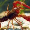 供应芜湖县特种水产龙虾