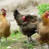 大量供应芦花鸡 三洋芦花鸡 欢迎选购