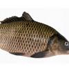 批发供应新鲜水产质优量足新鲜人工养殖鲈鱼直供超市酒店