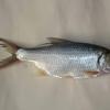 专业人工养殖环保鲜活鲜嫩鲤鱼 优质淡水鱼鲤鱼