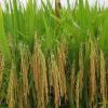 农场直销欧优质粳稻谷