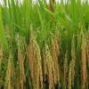 农场直销优质高产水稻