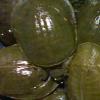 芜湖静辰野生鲜活甲鱼