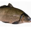 批发供应 鲜活水产品 鱼类 小马面鱼