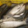 供应芜湖县特种水产草鱼