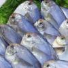 新鲜银鲳鱼 平鱼鳊鱼 鲜活冷冻银鲳鱼 野生大鲳鱼冰鲜