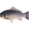 高质量新鲜淡水鲫鱼 人工生态养殖鲜活淡水鱼鲫鱼口感鲜美