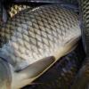芜湖先章淡水野生鲜活鲤鱼