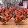厂家直销供应土鸡 品种优质