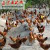 供应 君丰牌 农家林下 散养土鸡 绿色无污染养殖 健康绿色 无药物残留 土公鸡 批发零售