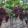 供应 优质葡萄 果大肉甜 厂家直销 价格优惠