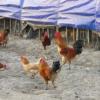 厂家直销 优质散养土鸡 ~~土鸡蛋~~土鸡苗~~全年供应
