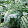 专业种植 西瓜 新品西瓜 营养价值高