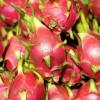 专业种植 火龙果 新品火龙果 营养价值高