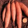 高明红薯 新农一号红薯直销 淀粉含量高 甜度高
