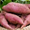 生态园供应红薯 有机绿色红薯 绿色无公害 红薯 地瓜