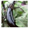 供应 纯天然绿色紫茄子 鲜蔬矮瓜紫茄子