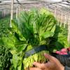 绿色无公害农家蔬菜 菠菜
