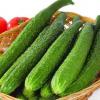 黄瓜种植基地产地直销黄瓜 绿色有机黄瓜