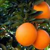 大量果园直供不催熟正宗江西赣南脐橙 精品5斤装 9省包邮